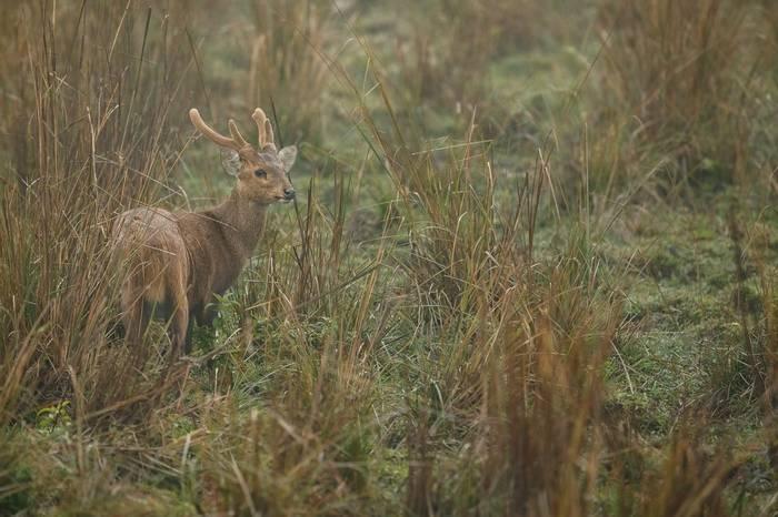 Hog Deer, Kaziranga, India shutterstock_387026524.jpg