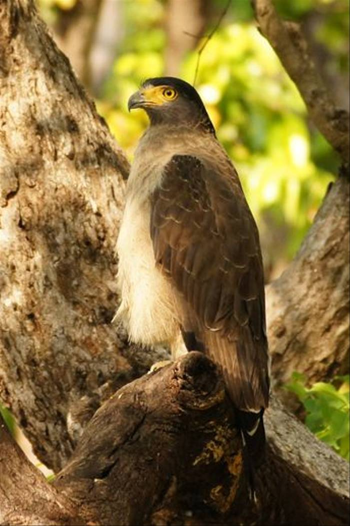 Crested Serpent Eagle, Kanha (Chris Hutchinson)