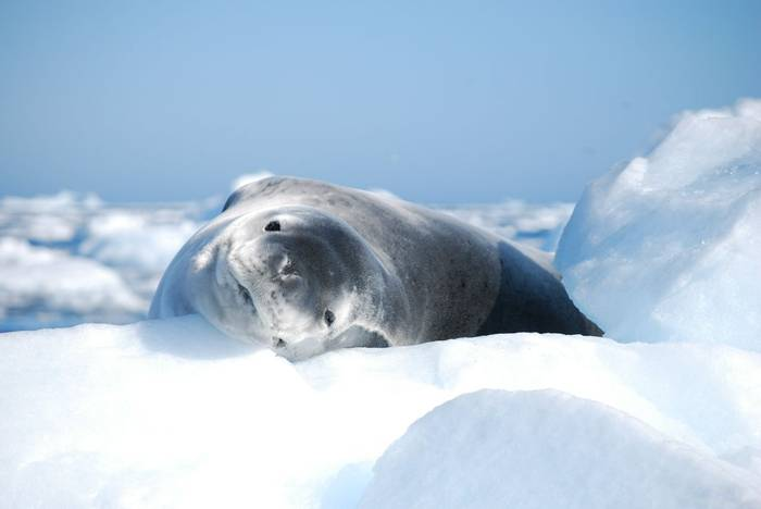 Leopard Seal By D Phillips