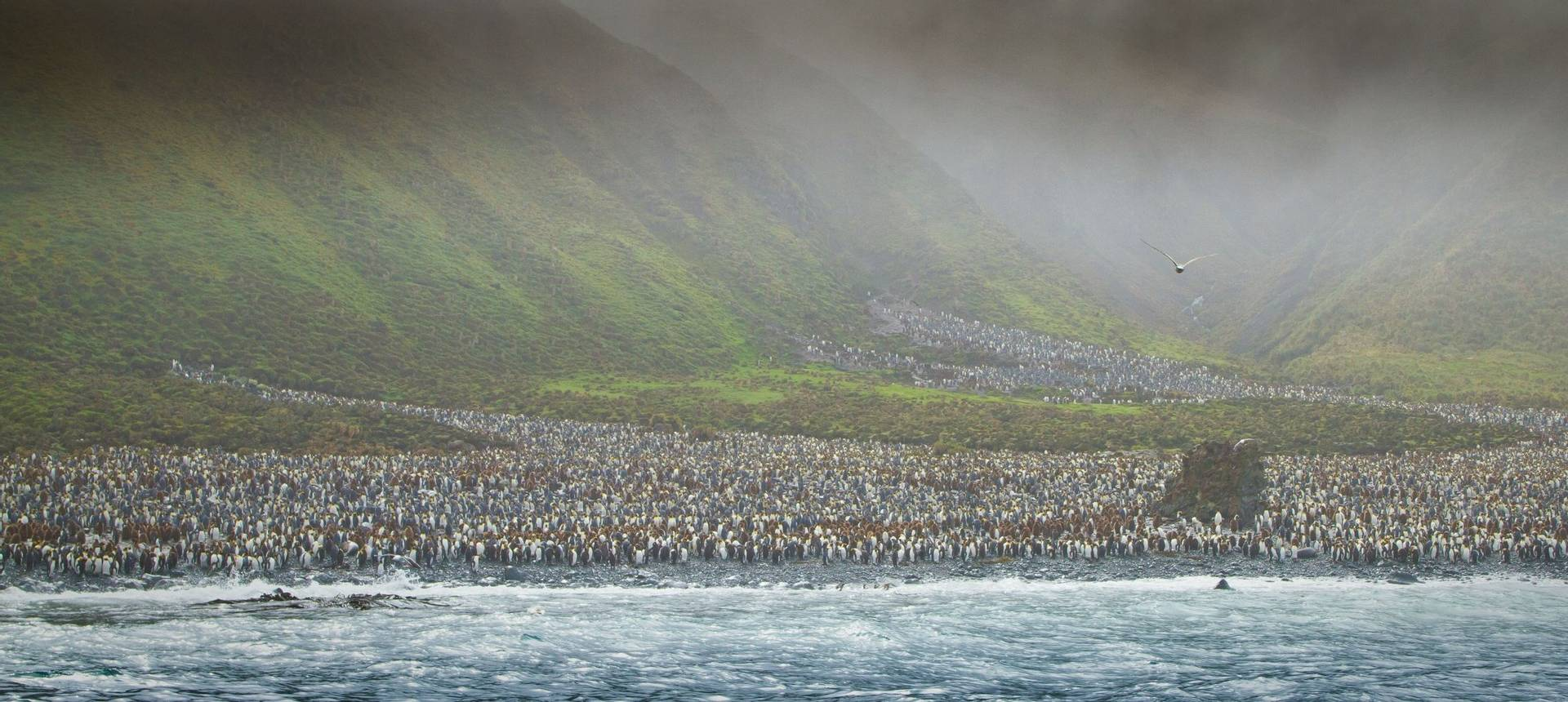 Penguin Colony, Macquarie Island Shutterstock 58273162