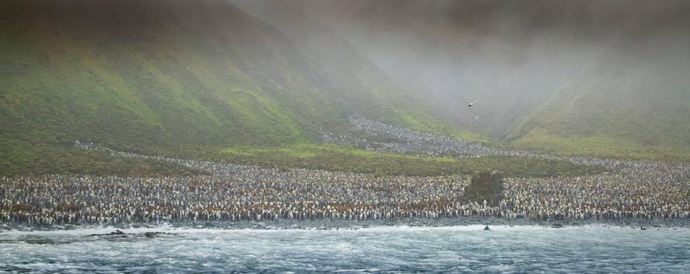 Penguin Colony, Macquarie Island Shutterstock 58273162