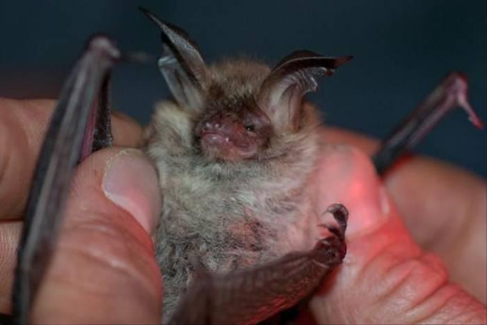 Bechstein's Bat (Jon Stokes)