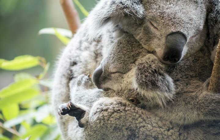 Mother and baby joey koalas asleep cuddling
