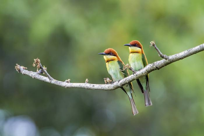 Chestnut-headed Bee-eaters, Bardia National Park, Nepal shutterstock_463719455.jpg