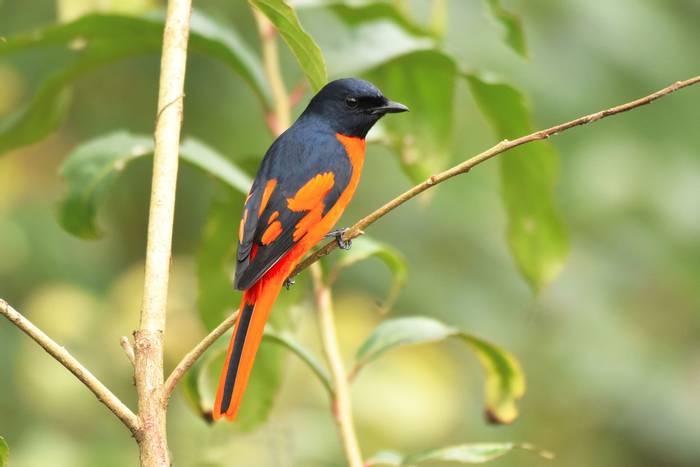 Scarlet-Minivet,-Nepal-shutterstock_599494313.jpg