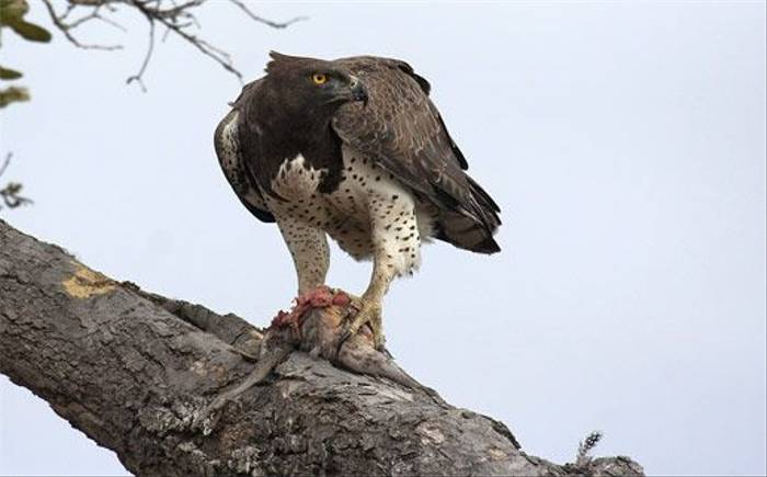 Martial Eagle (Leon Marais)