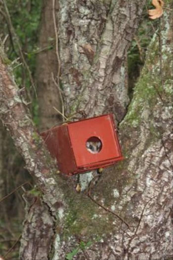 Forest Dormouse in box (Sandor)