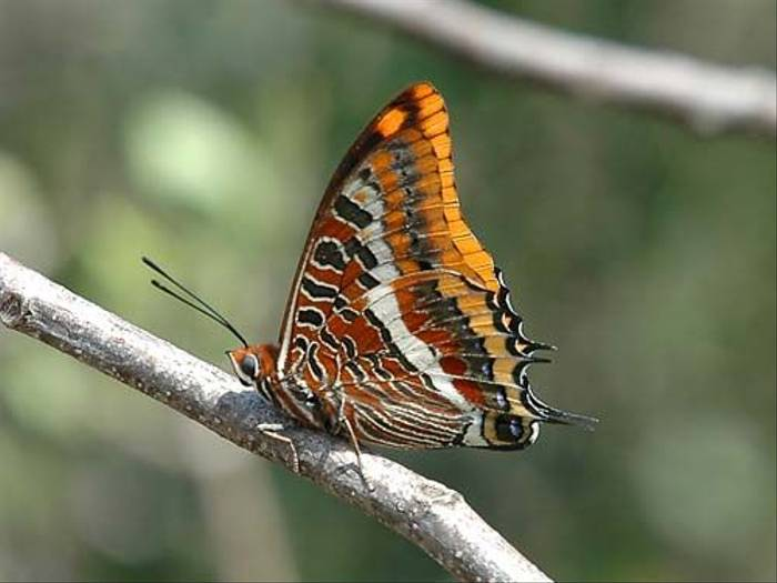 Twin Tailed Pasha (David Morris)