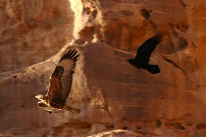 Steppe Buzzard and Brown-necked Raven (Tim Melling)
