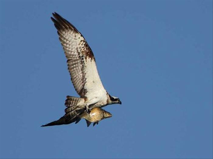 Osprey with fish (Glyn Sellors)