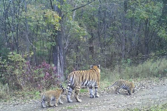 Tigress Walking On Road With Cubs, Durminskoye