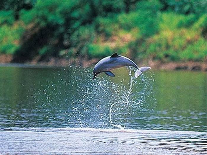 Grey River Dolphin (Rob Wilson)