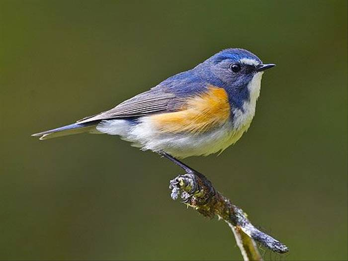 Red-flanked Bluetail (Jari Peltomaki)
