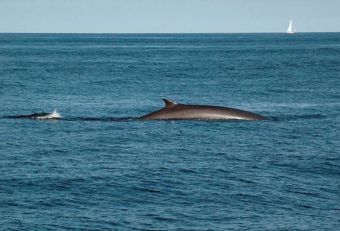 Fin Whales shutterstock_66613162.jpg