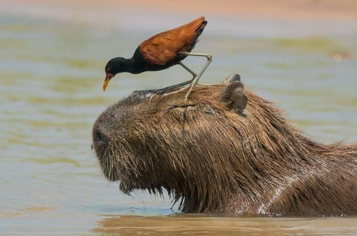 Wattled Jacana on Capybara (Tim Melling)