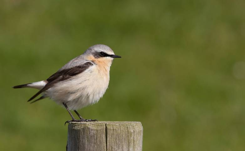 Wheatear_AdobeStock_40330394.jpeg