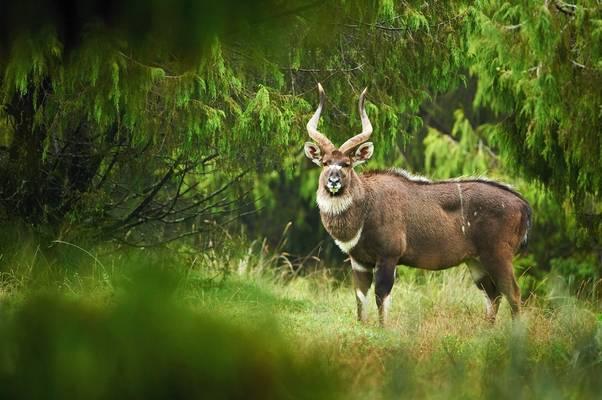 Mountain Nyala, Ethiopia Shutterstock 685218289 (1)