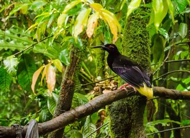 Papua New Guinea's Birds of Paradise and Culture