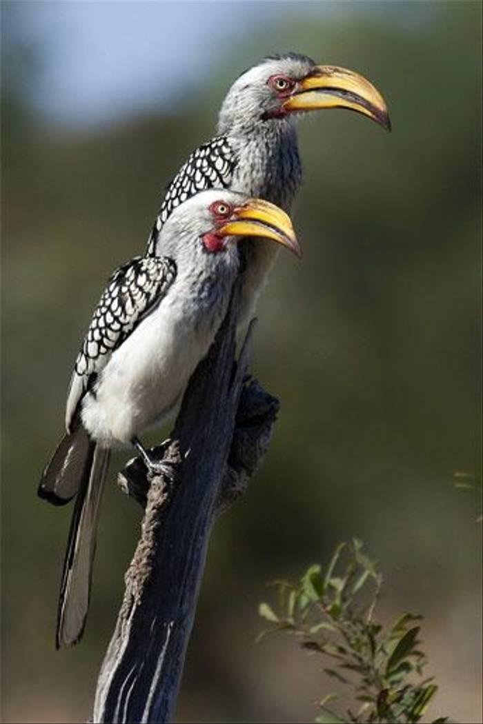 Southern Yellow-billed Hornbill (Leon Marais)