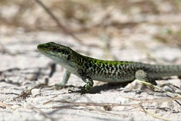 Italian Wall Lizard (Stuart Elsom)