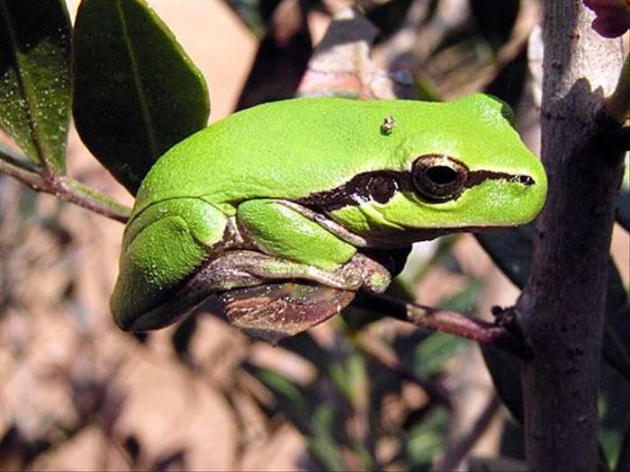 Tree Frog (Peter Dunn)