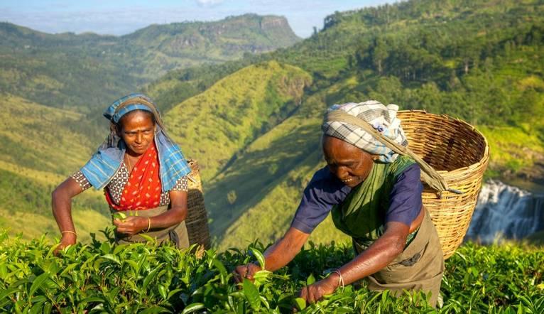 Shutterstock 180137912 Visit A Tea Plantation