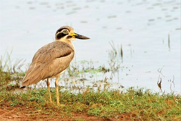 Greater Thick-knee (Anne-Marie Kalus)