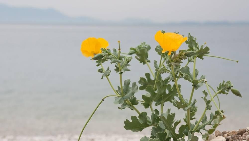 yellow-horned poppy, wildlife holidays