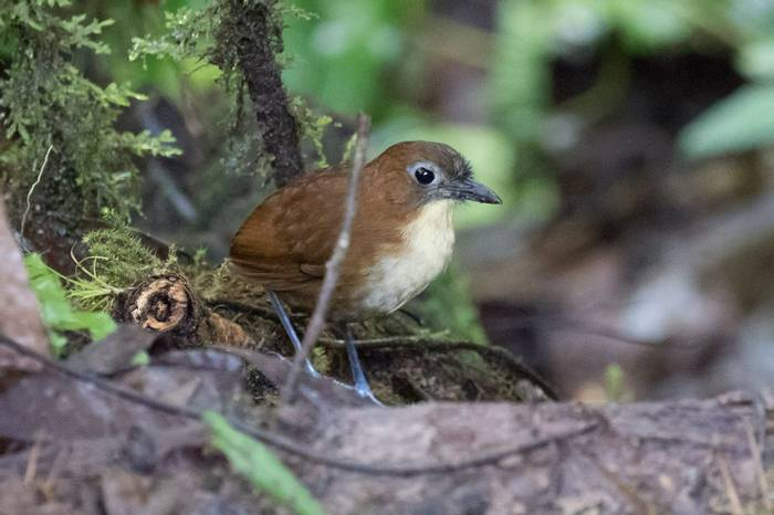 Yellow-fronted Antpitta (Chris Hutchinson)