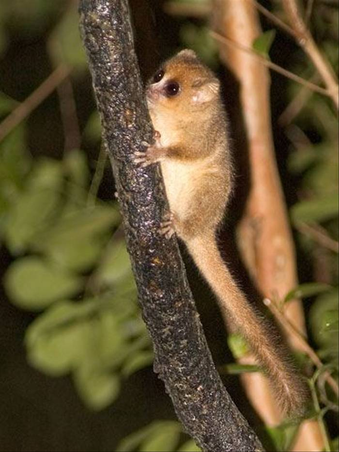 Rufous Mouse Lemur (Paul Stanbury)