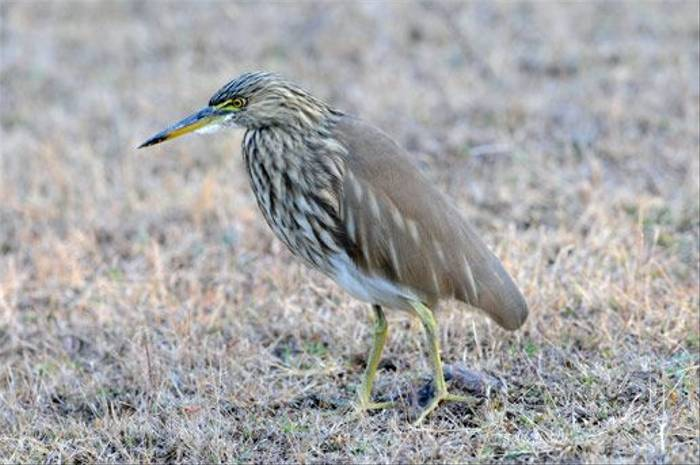 Indian Pond Heron (Peter Johnson)