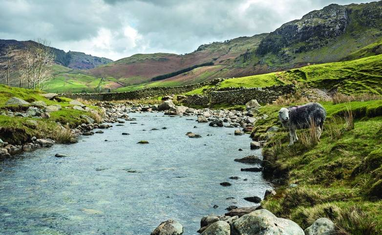 Langdale Fell: Landscape of Langdale Fell in the Lake District National Park, Cumbria, England with a native Herdwick sheep …