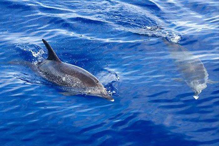 Spotted Dolphin (George Reekie)
