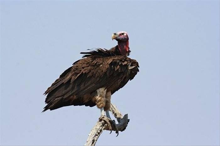 Lappet-faced Vulture (Leon Marais)