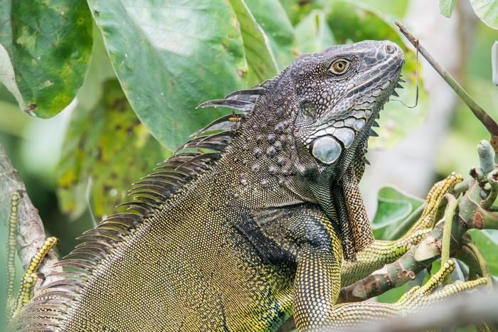 Green Iguana,  Panama-Mammals of the Canopy Tower 04JUL2016, Ian Talboys