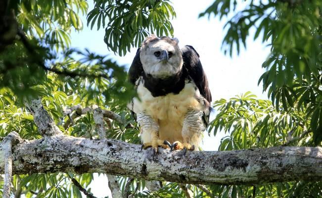 Harpy Eagle, Brazil shutterstock_1269634270.jpg