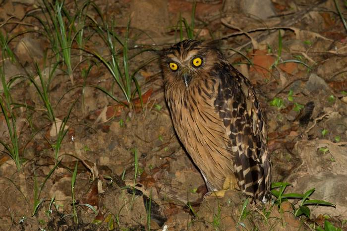 Buffy Fish Owl (Jackie Lover)