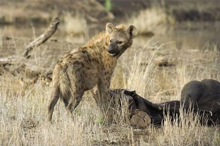 Spotted Hyena (Leon Marais)