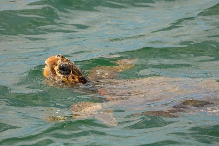 Loggerhead Turtle (Caretta caretta) - Bobby Bok