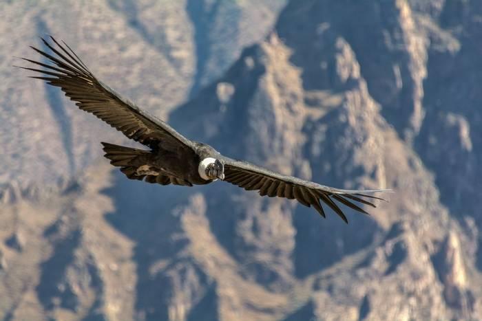 Andean Condor, Colca Canyon, Peru shutterstock_480356137.jpg