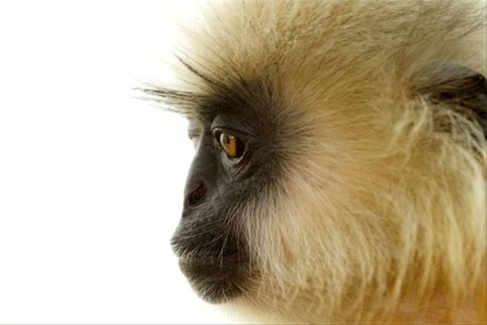 Golden Langur (Bret Charman)