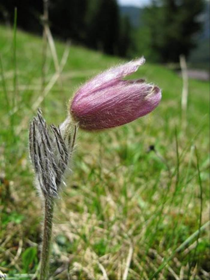 Pulsatilla vernalis - Spring Pasque flower (Paul Harmes)