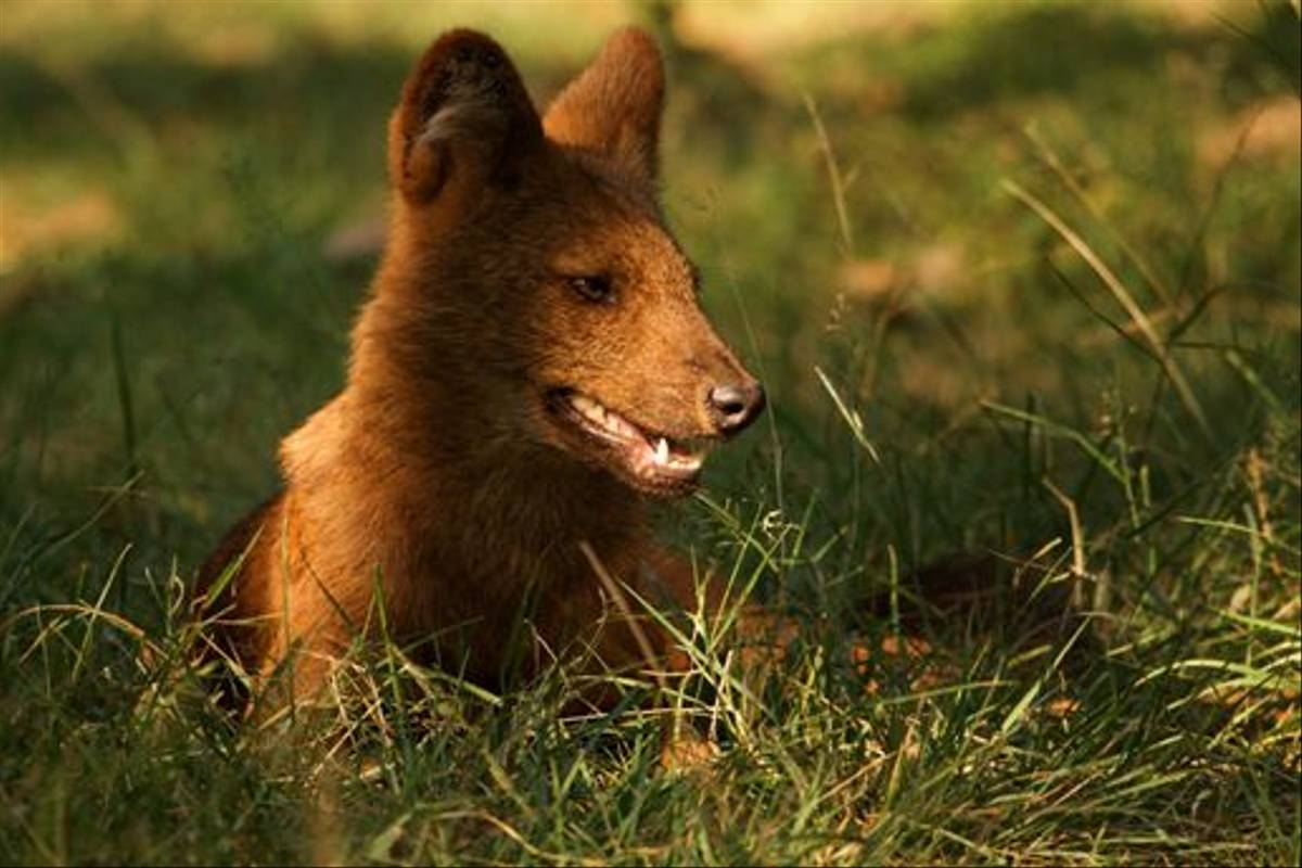 Wild Dog, Nagarahole