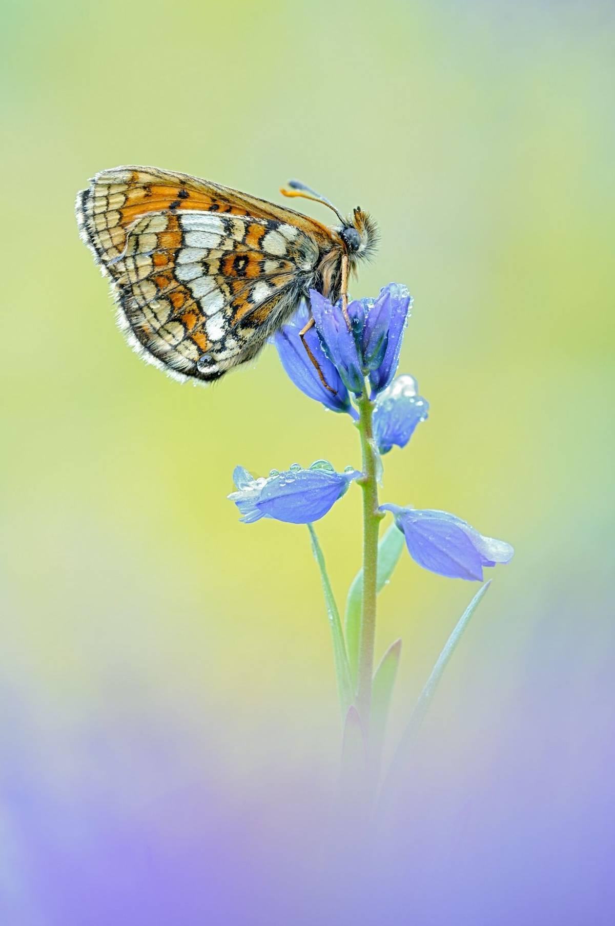 Grison'S Fritillary Shutterstock 402479965