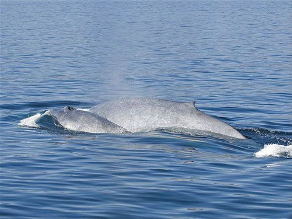 Whales (Paul Marshall)