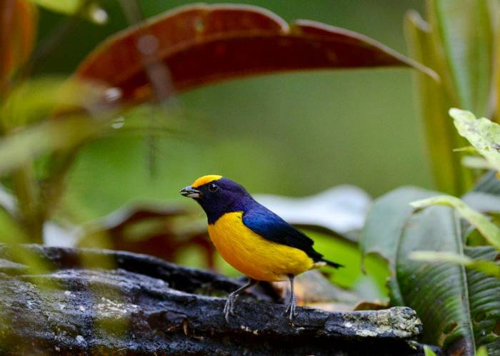 Orange Bellied Euphonia (Stephen Woodham)