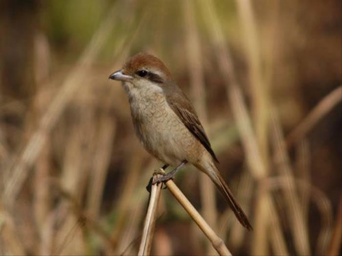 Brown Shrike (Duncan Stewart)