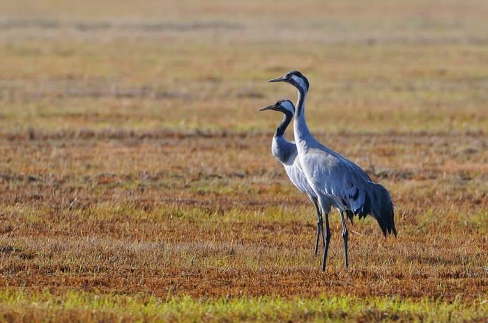 Common Cranes, Poland Shutterstock 1084127207