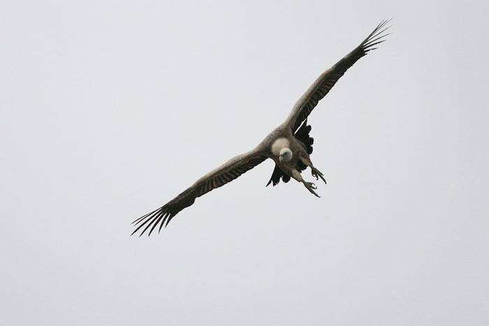 Griffon Vulture (John Willsher)