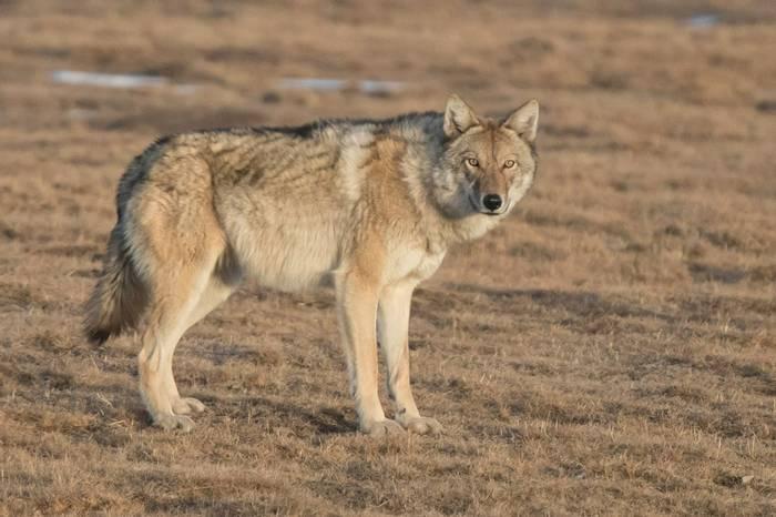 Tibetan Wolf (Tim Melling)